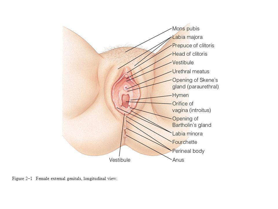 Figure 2–1 Female external genitals, longitudinal view.