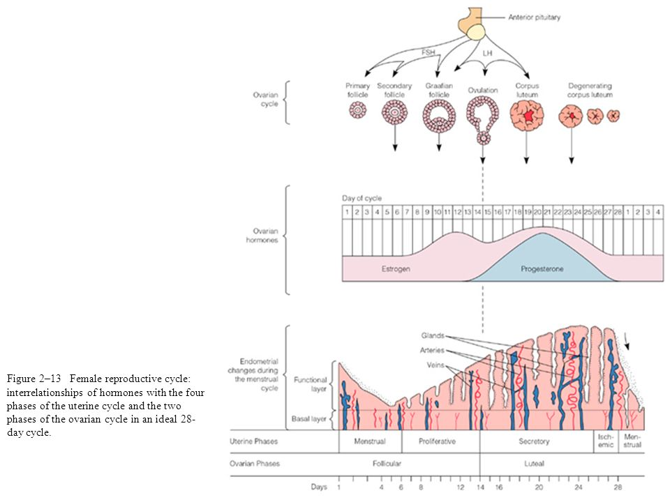 Figure 2–13 Female reproductive cycle: interrelationships of hormones with the four phases of the uterine cycle and the two phases of the ovarian cycl