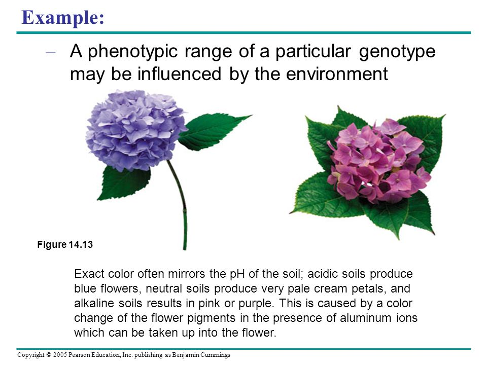 Copyright © 2005 Pearson Education, Inc. publishing as Benjamin Cummings Example: – A phenotypic range of a particular genotype may be influenced by t