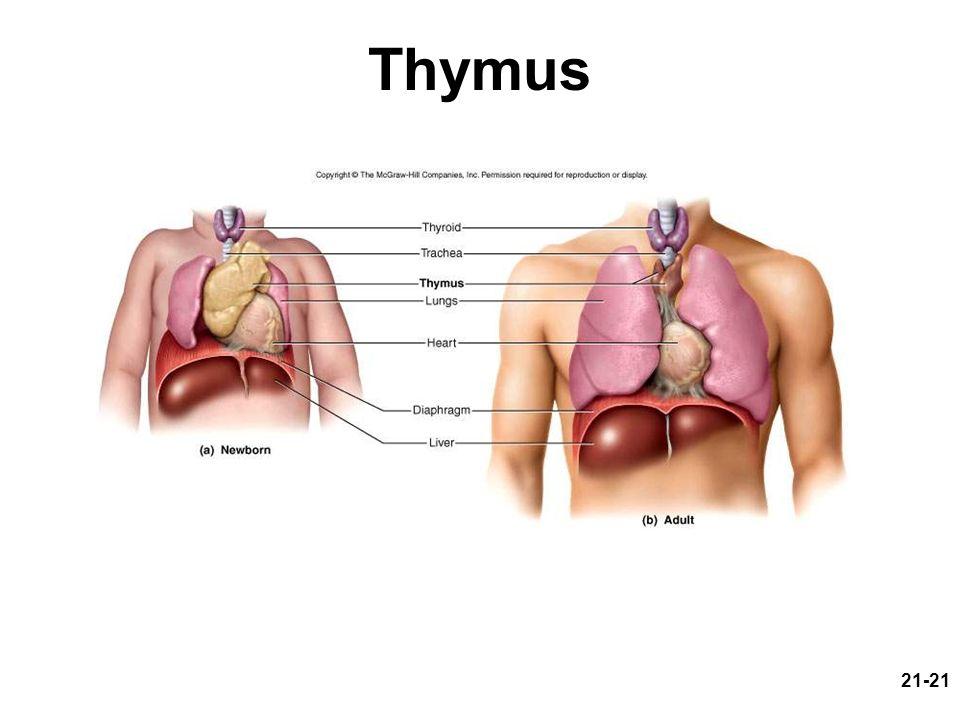 21-21 Thymus