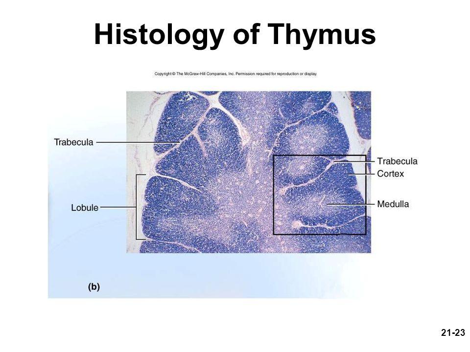 21-23 Histology of Thymus