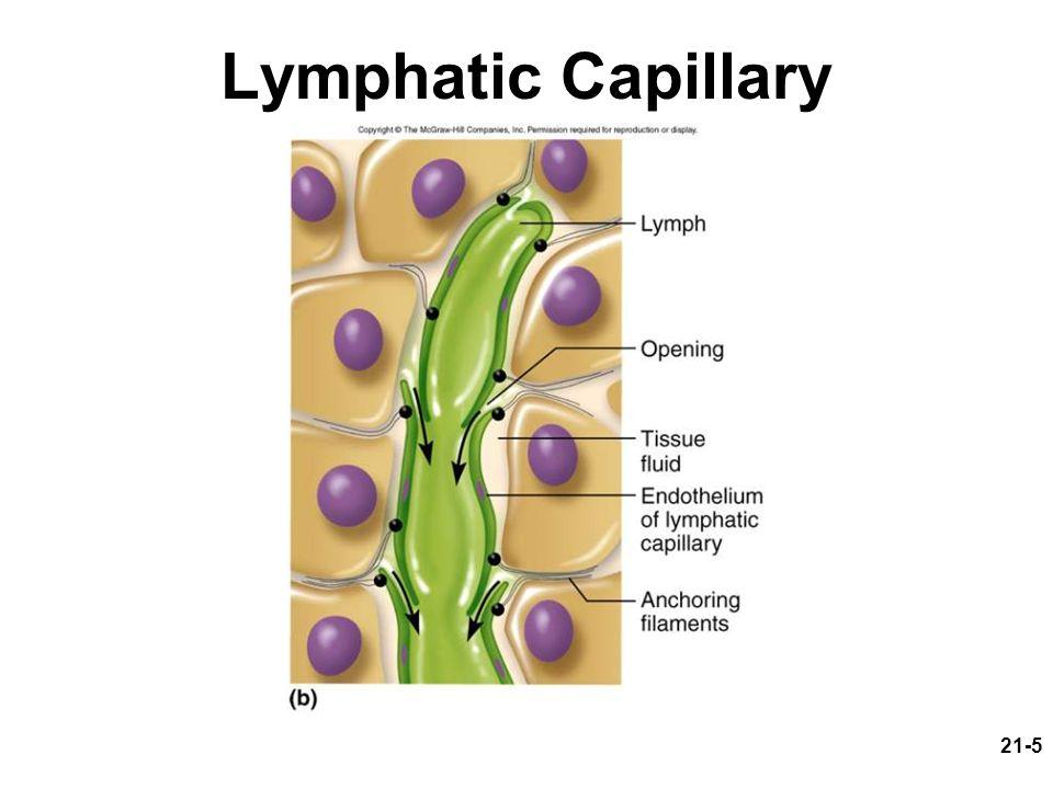 Lymph Capillary Potent Paulas Potent Pleasures