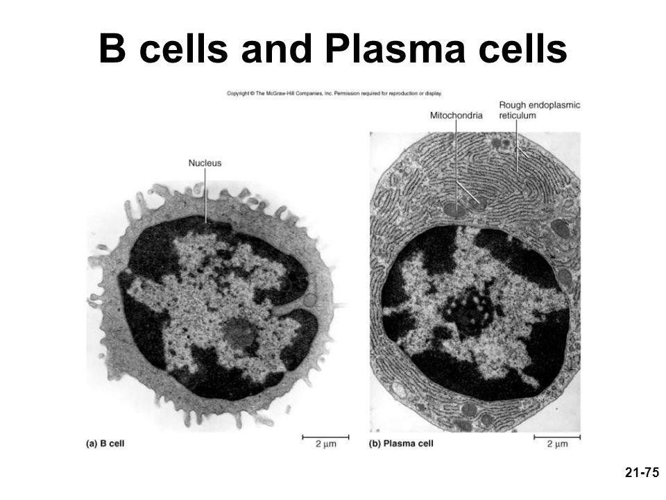 21-75 B cells and Plasma cells