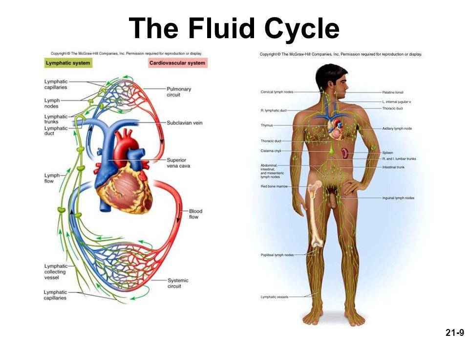 21-9 The Fluid Cycle