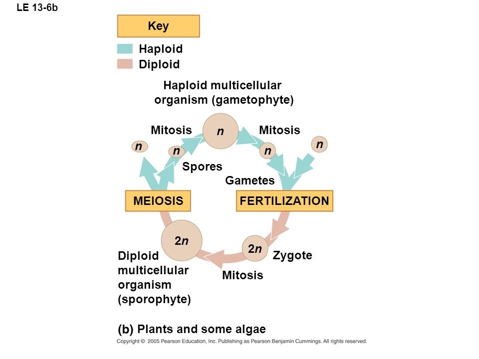 LE 13-6b Key Haploid Diploid multicellular organism (sporophyte) Plants and some algae n n n n n FERTILIZATION MEIOSIS Gametes Zygote Mitosis 2n2n 2n2