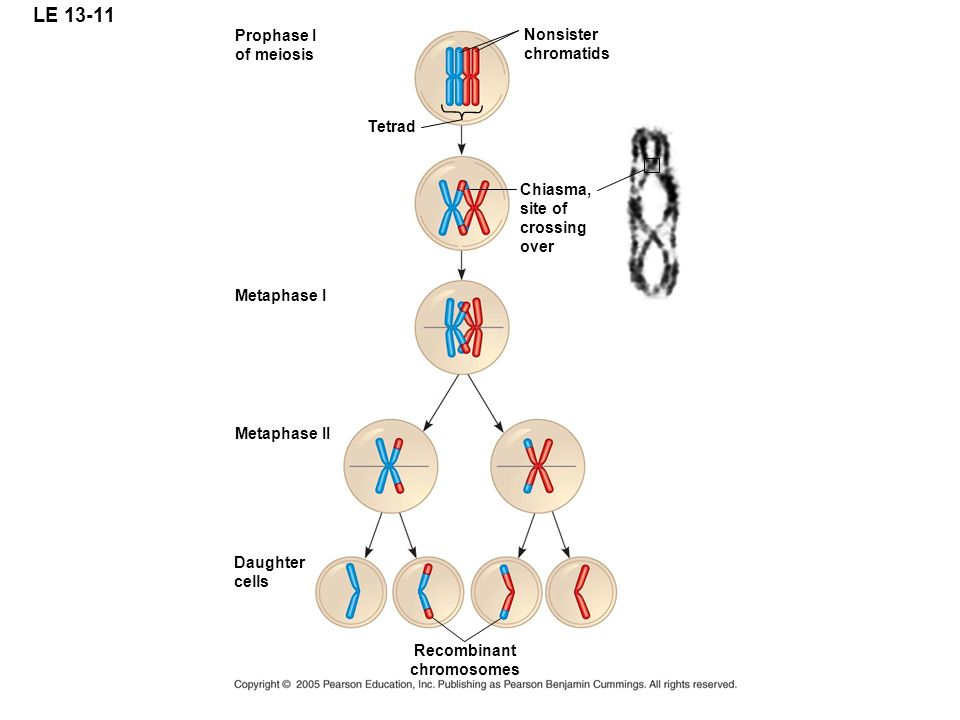 LE 13-11 Prophase I of meiosis Tetrad Nonsister chromatids Chiasma, site of crossing over Recombinant chromosomes Metaphase I Metaphase II Daughter ce