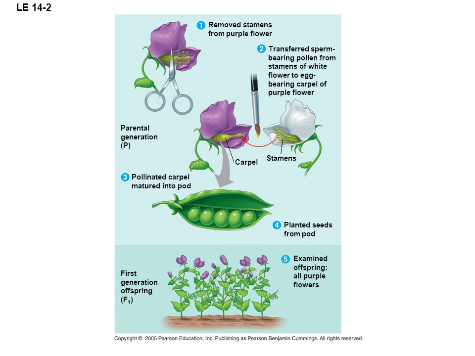 LE 14-2 Removed stamens from purple flower Transferred sperm- bearing pollen from stamens of white flower to egg- bearing carpel of purple flower Carp