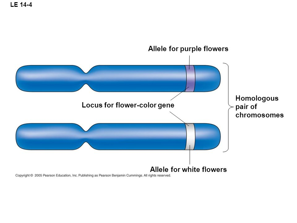 LE 14-4 Allele for purple flowers Homologous pair of chromosomes Allele for white flowers Locus for flower-color gene