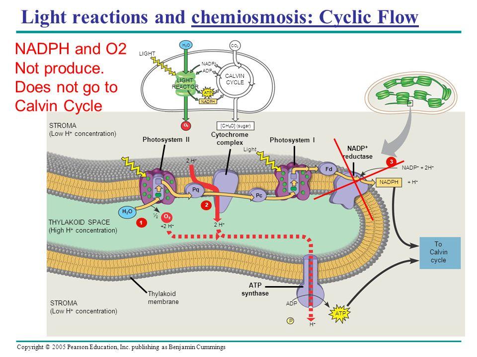 Copyright © 2005 Pearson Education, Inc. publishing as Benjamin Cummings Light reactions and chemiosmosis: Cyclic Flow LIGHT REACTOR NADP + ADP ATP NA