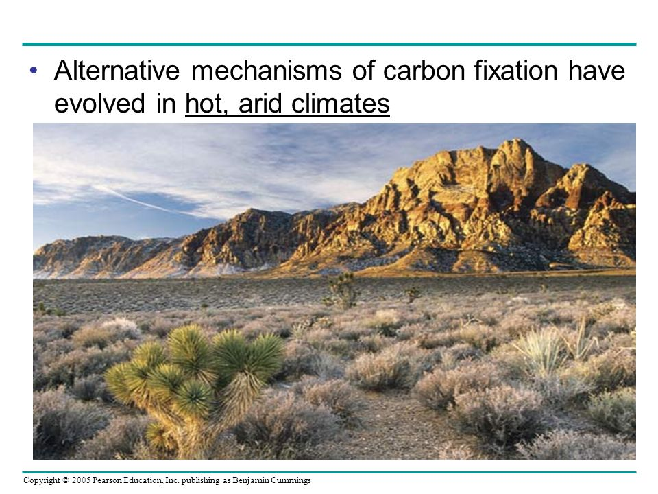 Copyright © 2005 Pearson Education, Inc. publishing as Benjamin Cummings Alternative mechanisms of carbon fixation have evolved in hot, arid climates