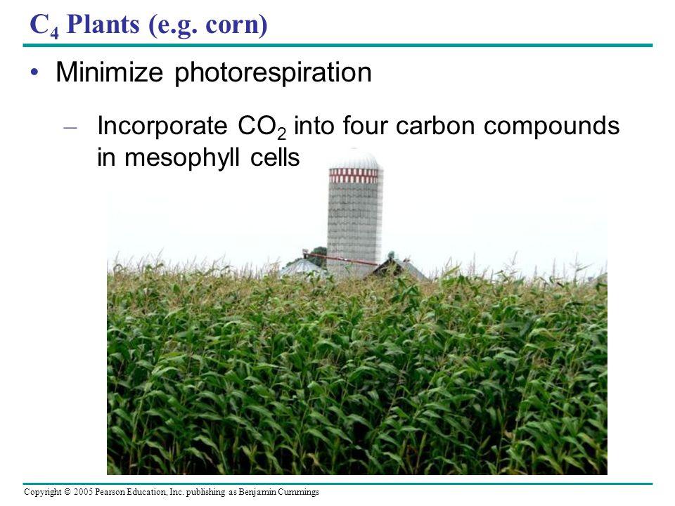 Copyright © 2005 Pearson Education, Inc. publishing as Benjamin Cummings C 4 Plants (e.g. corn) Minimize photorespiration – Incorporate CO 2 into four