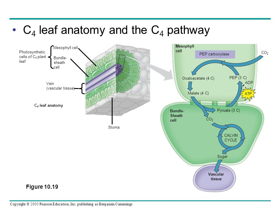 Copyright © 2005 Pearson Education, Inc. publishing as Benjamin Cummings C 4 leaf anatomy and the C 4 pathway CO 2 Mesophyll cell Bundle- sheath cell