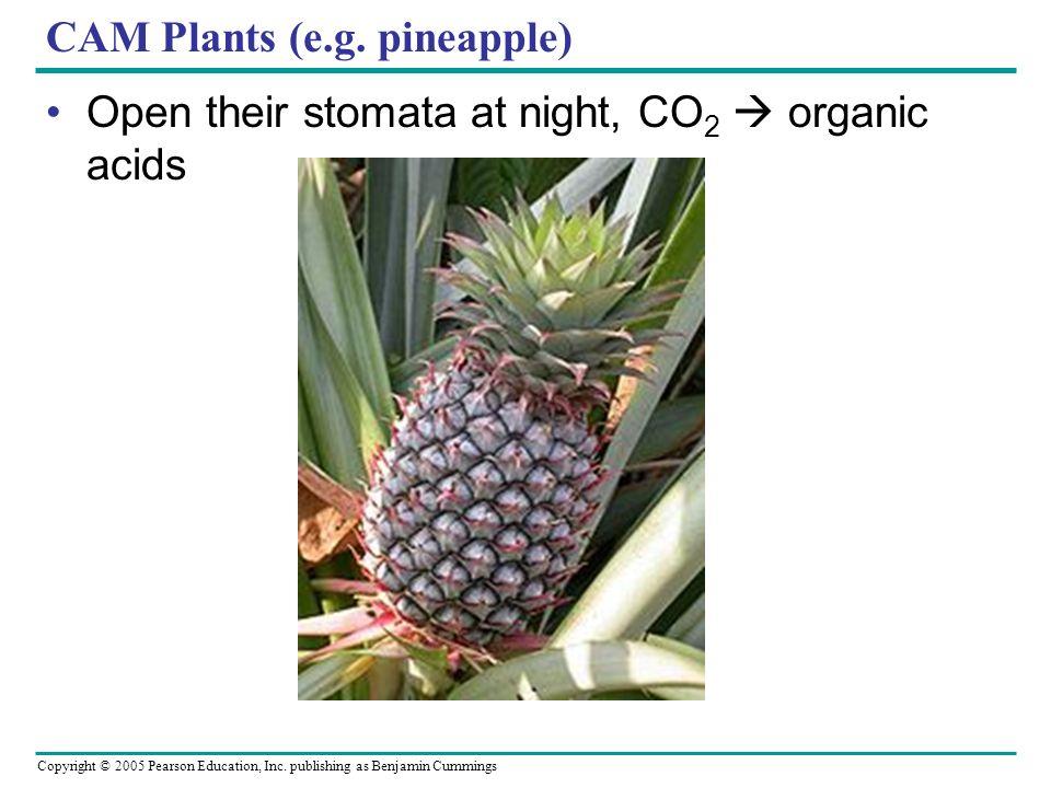 Copyright © 2005 Pearson Education, Inc. publishing as Benjamin Cummings CAM Plants (e.g. pineapple) Open their stomata at night, CO 2 organic acids