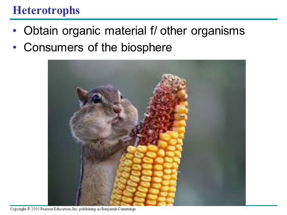 Copyright © 2005 Pearson Education, Inc. publishing as Benjamin Cummings Heterotrophs Obtain organic material f/ other organisms Consumers of the bios