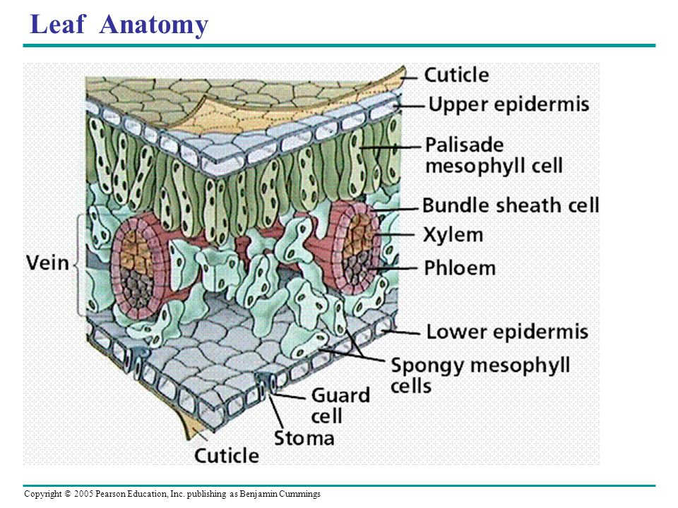 Copyright © 2005 Pearson Education, Inc. publishing as Benjamin Cummings Leaf Anatomy