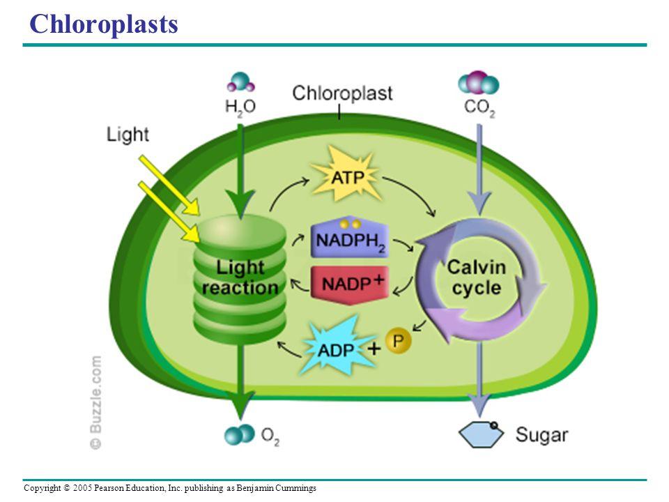 Copyright © 2005 Pearson Education, Inc. publishing as Benjamin Cummings Chloroplasts