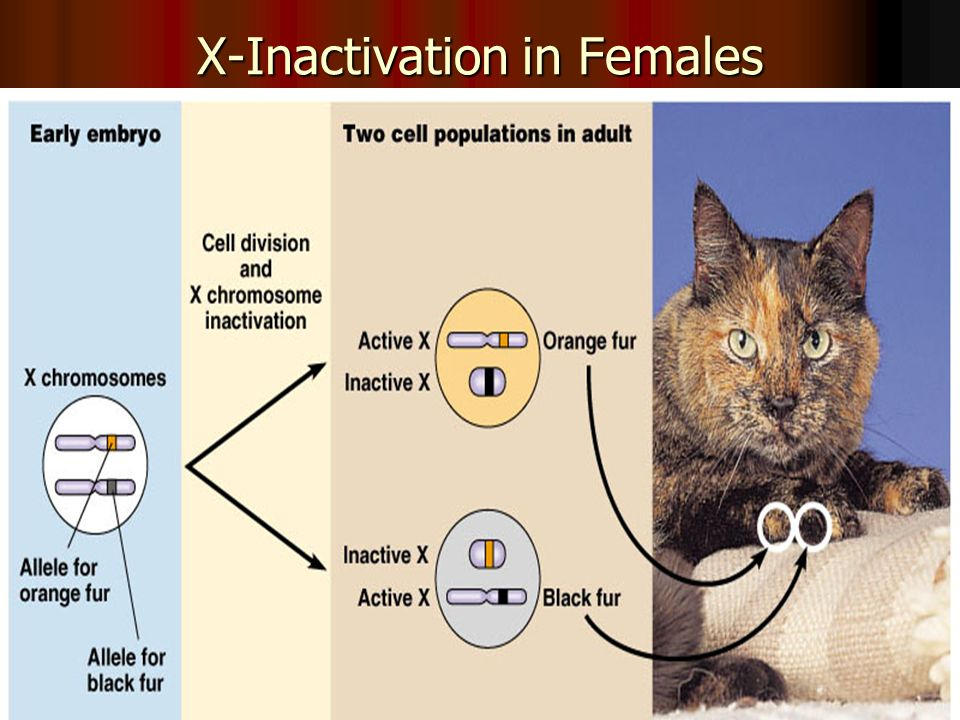 X-Inactivation in Females