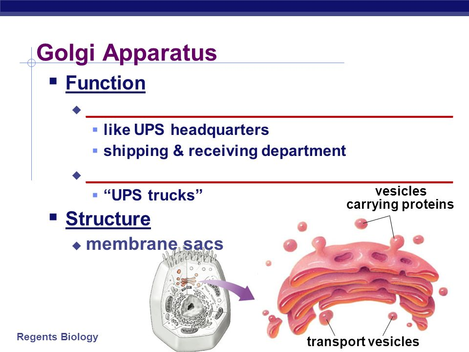 Regents Biology Endoplasmic Reticulum Function __________________ helps complete the proteins after ribosome builds them __________________ Structure