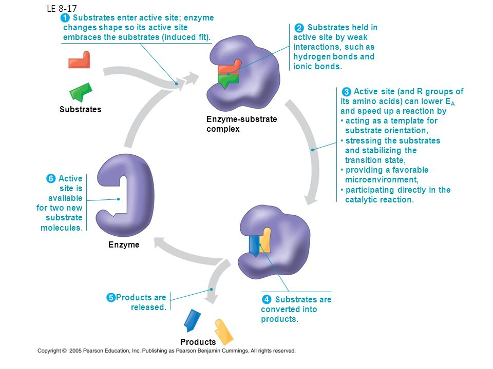 LE 8-17 Enzyme-substrate complex Substrates Enzyme Products Substrates enter active site; enzyme changes shape so its active site embraces the substra
