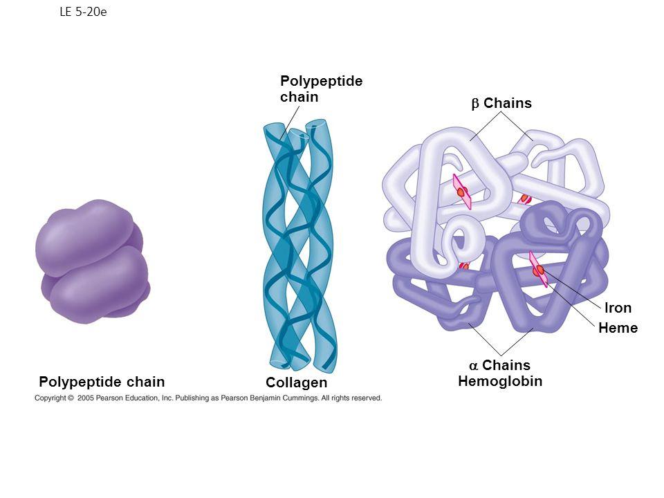 LE 5-20e Chains Hemoglobin Iron Heme Collagen Polypeptide chain Polypeptide chain