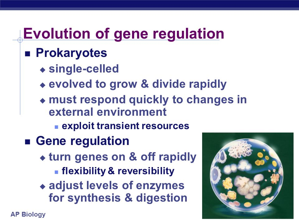 AP Biology The BIG Questions… How are genes turned on & off in eukaryotes? How do cells with the same genes differentiate to perform completely differ