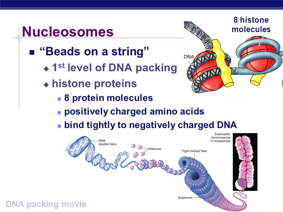 AP Biology How do you fit all that DNA into nucleus? DNA coiling & folding double helix nucleosomes chromatin fiber looped domains chromosome from DNA