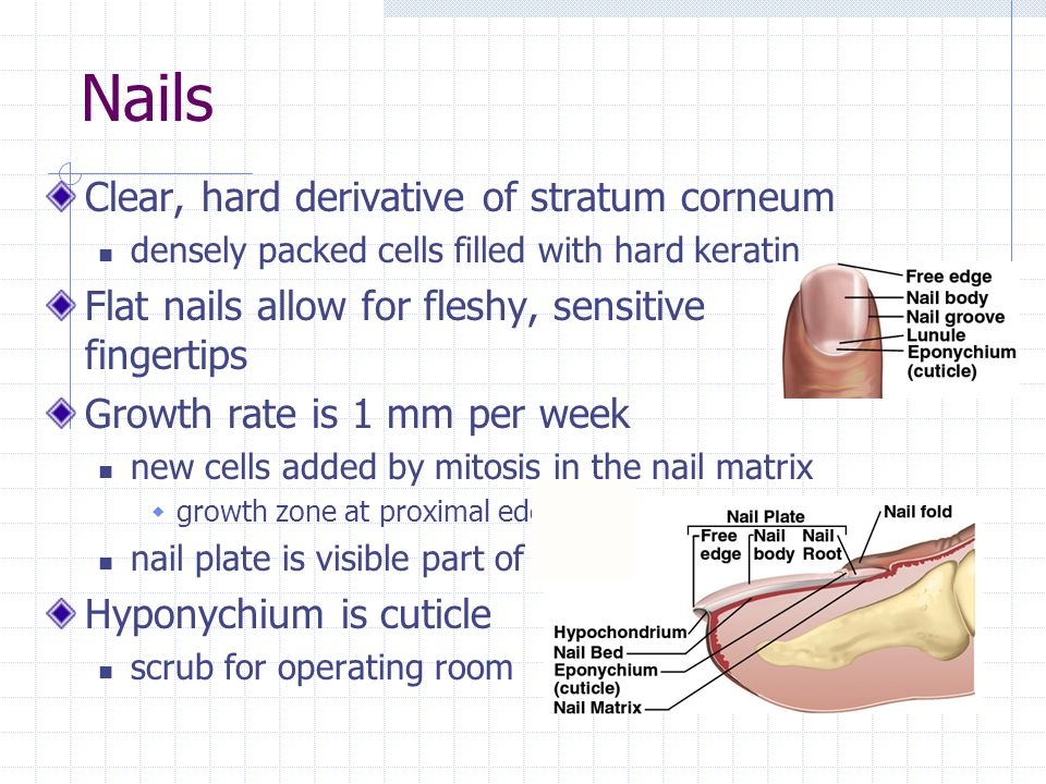 Nails Clear, hard derivative of stratum corneum densely packed cells filled with hard keratin Flat nails allow for fleshy, sensitive fingertips Growth