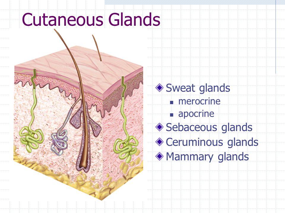 Cutaneous Glands Sweat glands merocrine apocrine Sebaceous glands Ceruminous glands Mammary glands