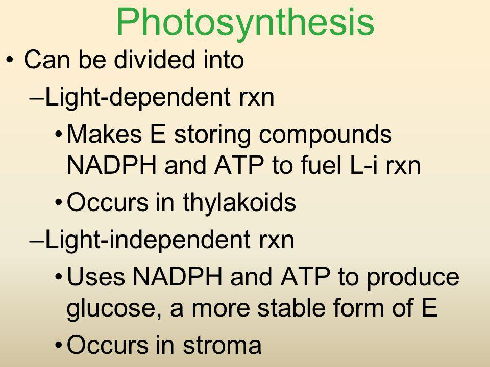 Photosynthesis Can be divided into –Light-dependent rxn Makes E storing compounds NADPH and ATP to fuel L-i rxn Occurs in thylakoids –Light-independen
