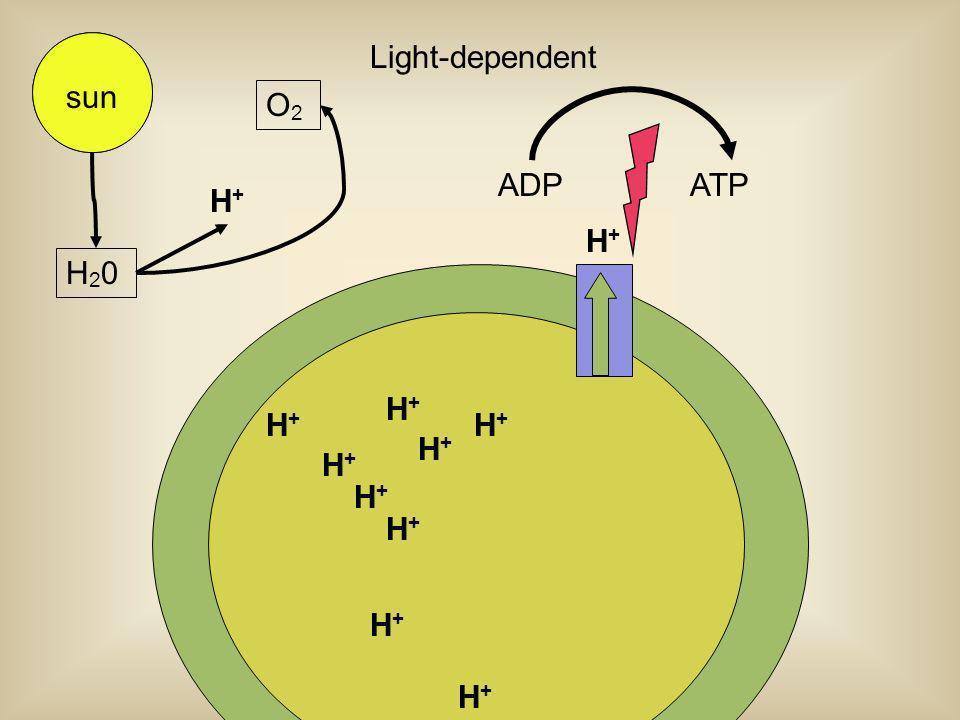 H+H+ H+H+ H+H+ H+H+ H+H+ H+H+ H+H+ H+H+ H+H+ H+H+ sun Light-dependent ADPATP H+H+ H20H20 O2O2 sun
