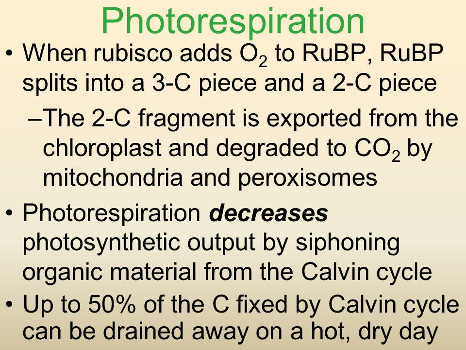Photorespiration When rubisco adds O 2 to RuBP, RuBP splits into a 3-C piece and a 2-C piece –The 2-C fragment is exported from the chloroplast and de