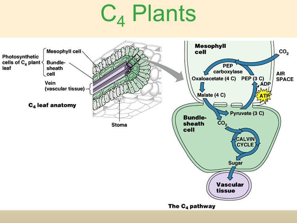 C 4 Plants