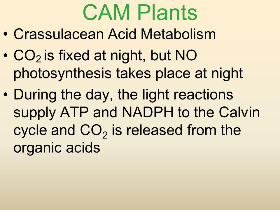 CAM Plants Crassulacean Acid Metabolism CO 2 is fixed at night, but NO photosynthesis takes place at night During the day, the light reactions supply