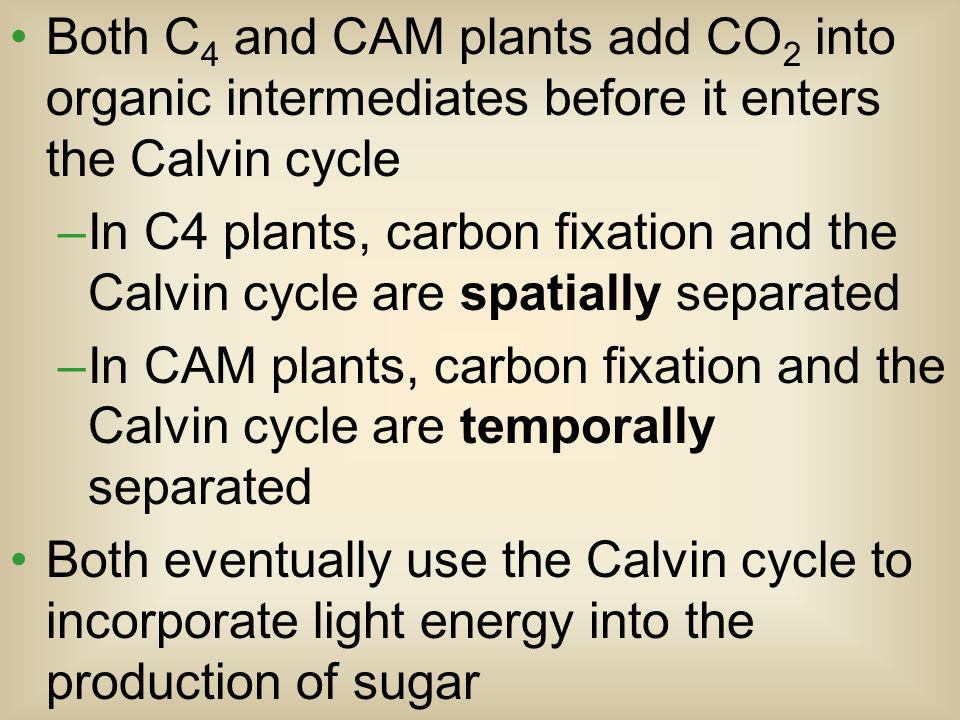 Both C 4 and CAM plants add CO 2 into organic intermediates before it enters the Calvin cycle –In C4 plants, carbon fixation and the Calvin cycle are