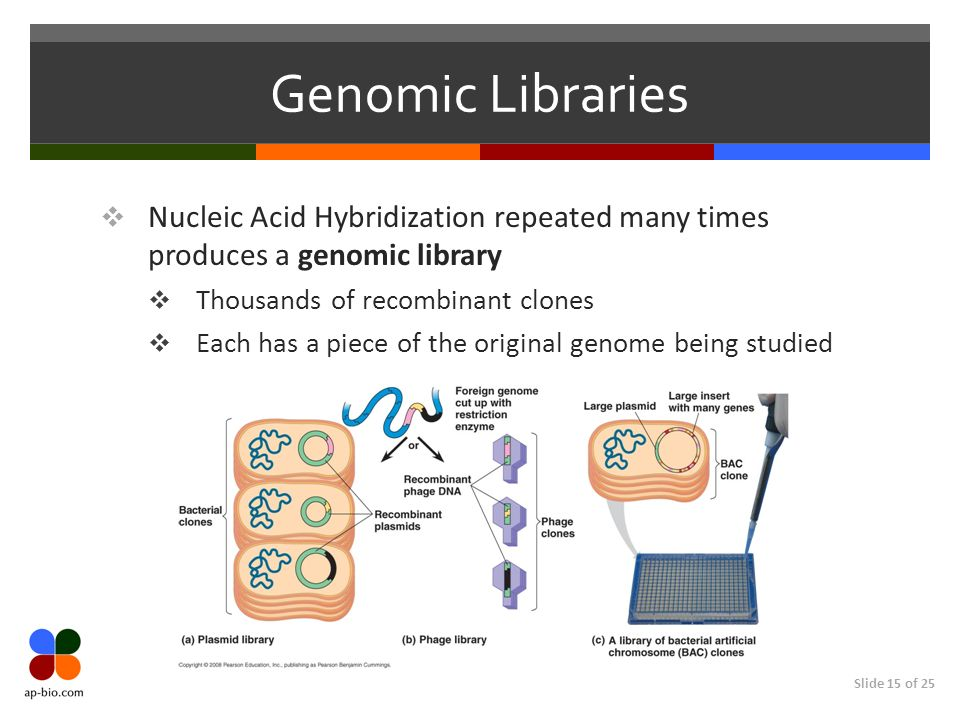 Slide 15 of 25 Genomic Libraries Nucleic Acid Hybridization repeated many times produces a genomic library Thousands of recombinant clones Each has a