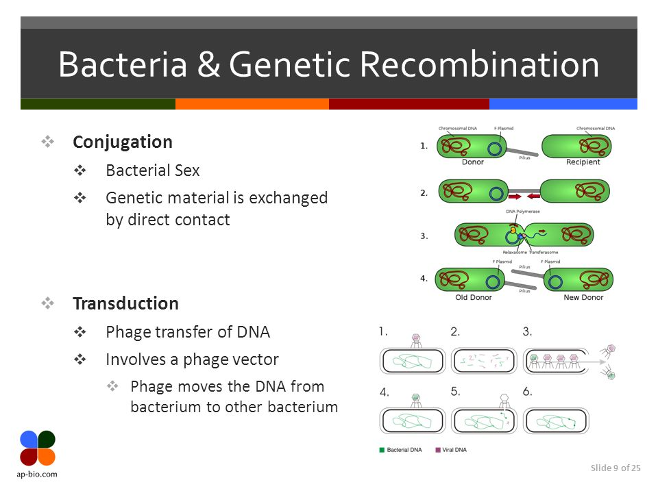 Slide 9 of 25 Bacteria & Genetic Recombination Conjugation Bacterial Sex Genetic material is exchanged by direct contact Transduction Phage transfer o