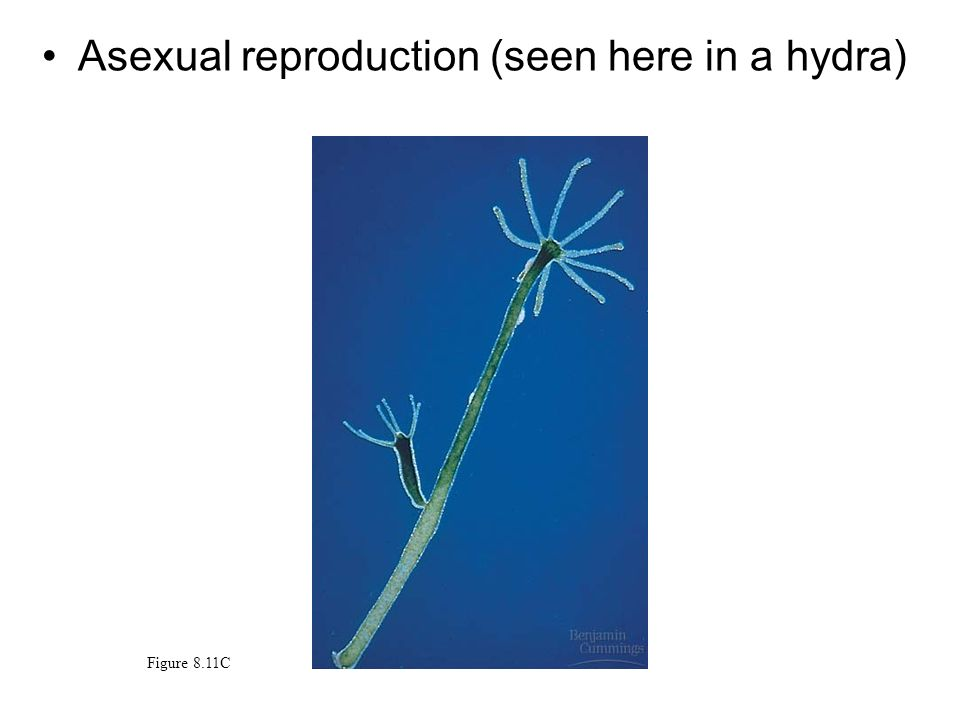 Asexual reproduction (seen here in a hydra) Figure 8.11C