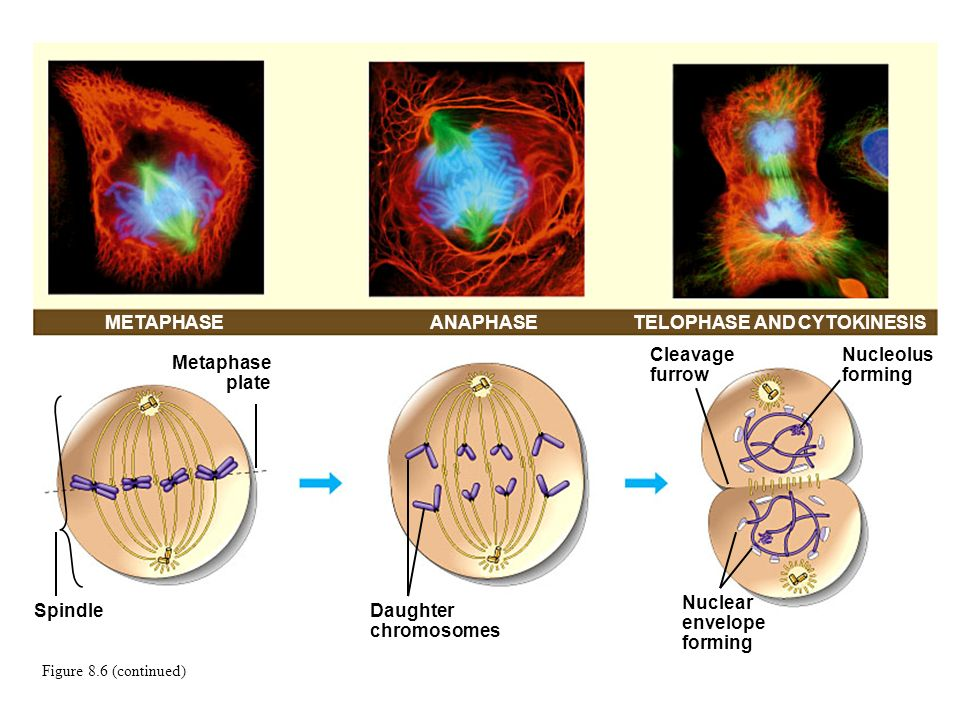 METAPHASETELOPHASE AND CYTOKINESIS Metaphase plate SpindleDaughter chromosomes Cleavage furrow Nucleolus forming Nuclear envelope forming ANAPHASE Fig