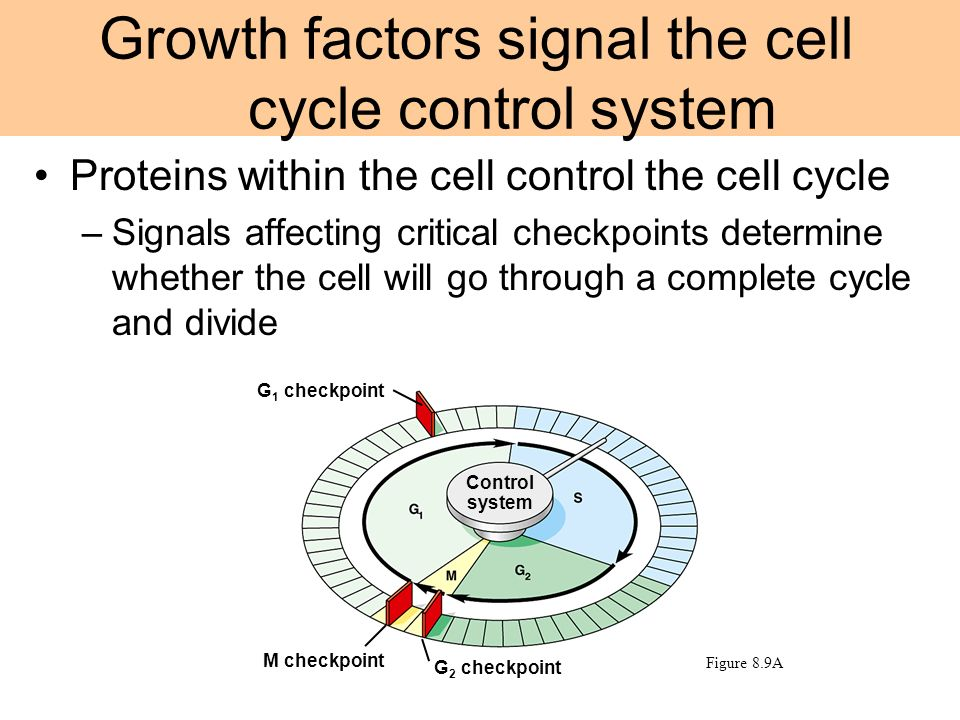 Proteins within the cell control the cell cycle –Signals affecting critical checkpoints determine whether the cell will go through a complete cycle an