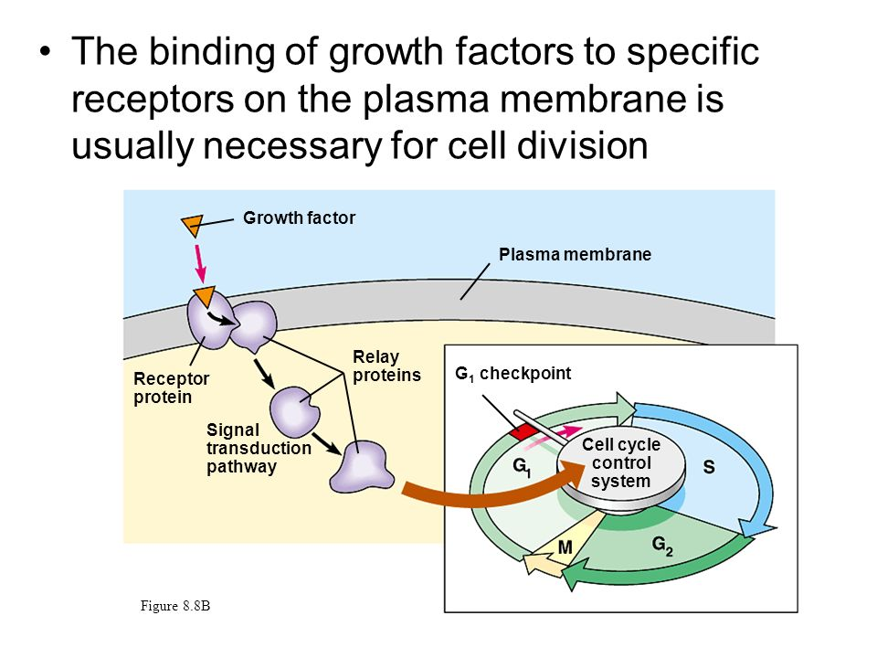 The binding of growth factors to specific receptors on the plasma membrane is usually necessary for cell division Growth factor Figure 8.8B Cell cycle