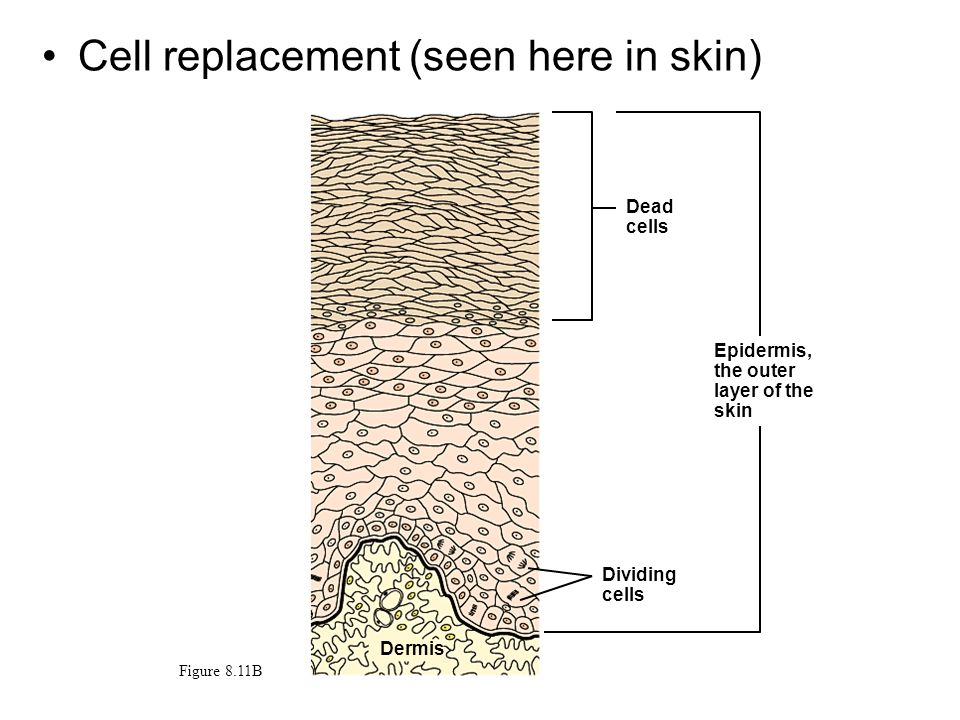 Cell replacement (seen here in skin) Dead cells Figure 8.11B Dividing cells Epidermis, the outer layer of the skin Dermis