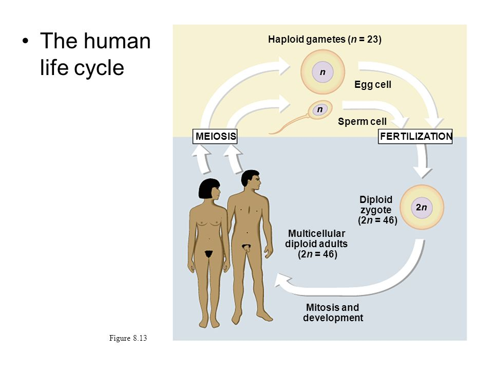The human life cycle Figure 8.13 MEIOSISFERTILIZATION Haploid gametes (n = 23) Egg cell Sperm cell Diploid zygote (2n = 46) Multicellular diploid adul