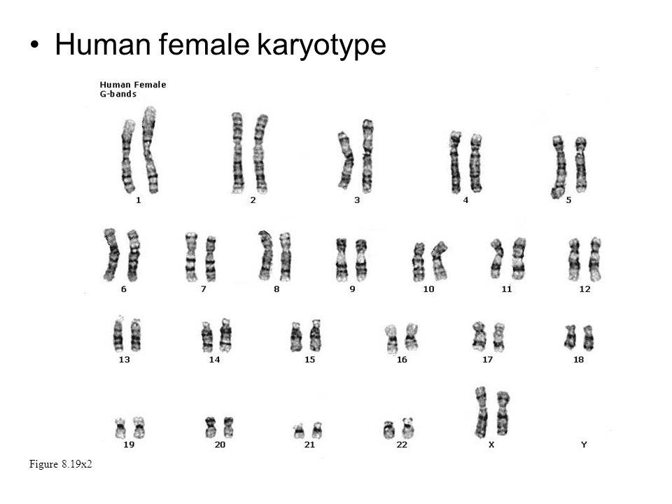 Human female karyotype Figure 8.19x2