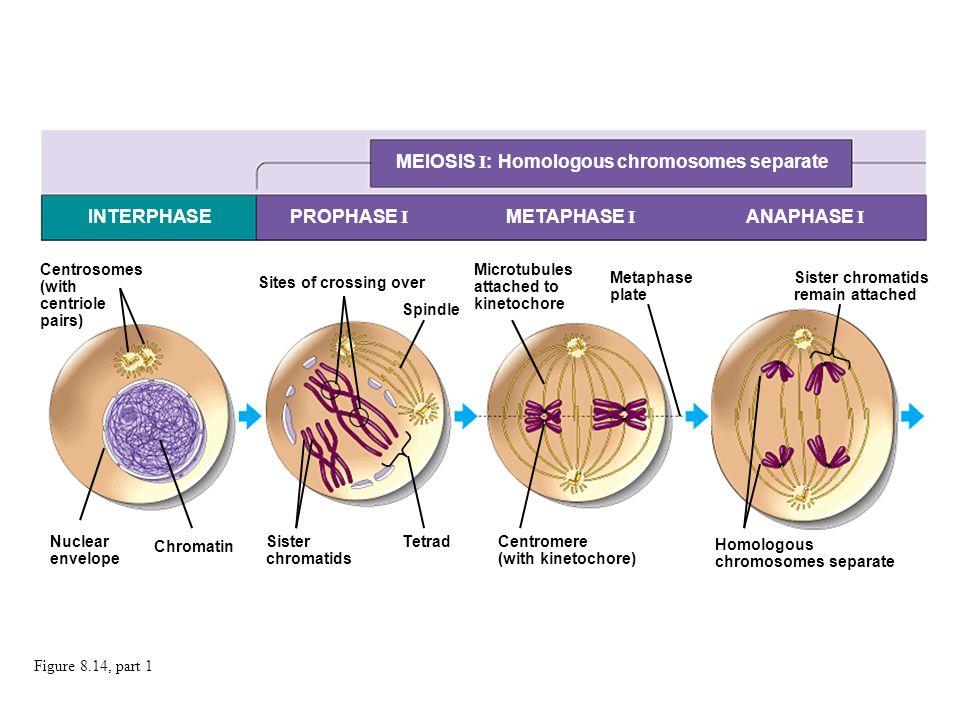 Figure 8.14, part 1 MEIOSIS I : Homologous chromosomes separate INTERPHASEPROPHASE I METAPHASE I ANAPHASE I Centrosomes (with centriole pairs) Nuclear