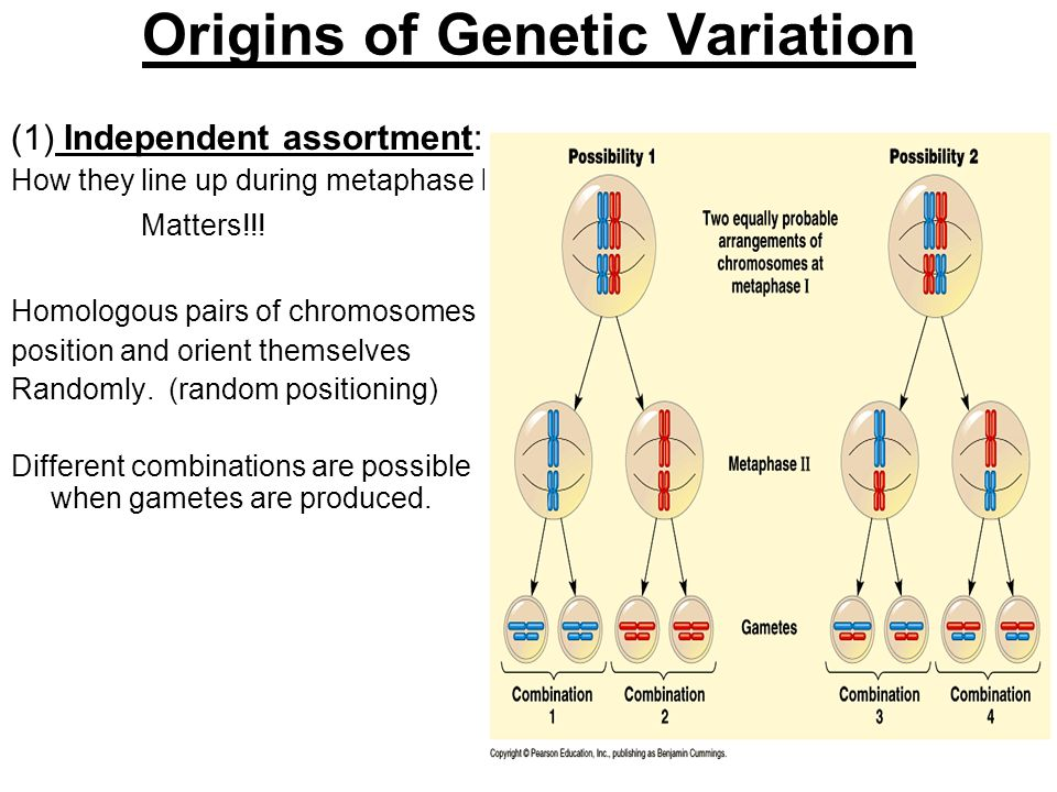 Origins of Genetic Variation (1) Independent assortment: How they line up during metaphase I Matters!!! Homologous pairs of chromosomes position and o