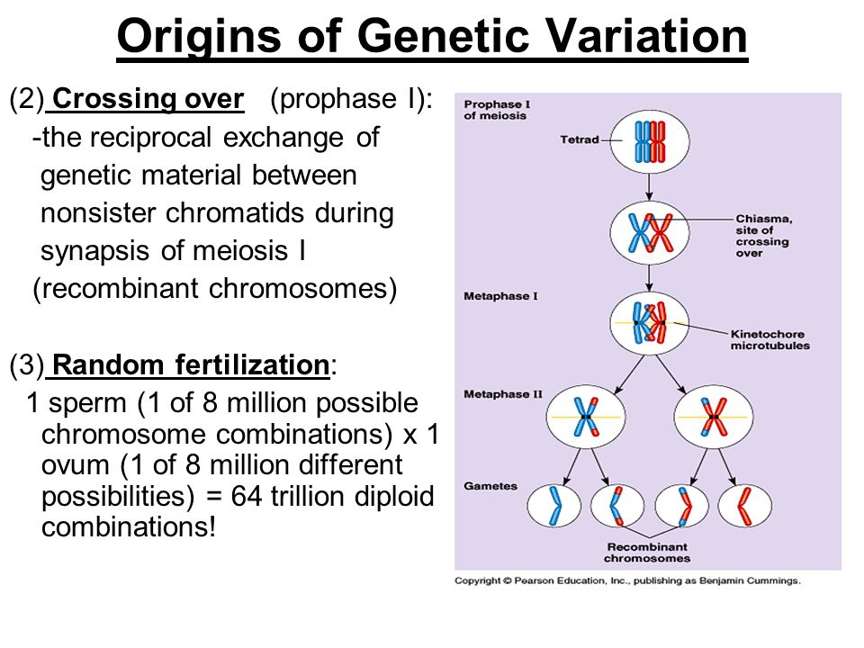 Origins of Genetic Variation (2) Crossing over (prophase I): -the reciprocal exchange of genetic material between nonsister chromatids during synapsis