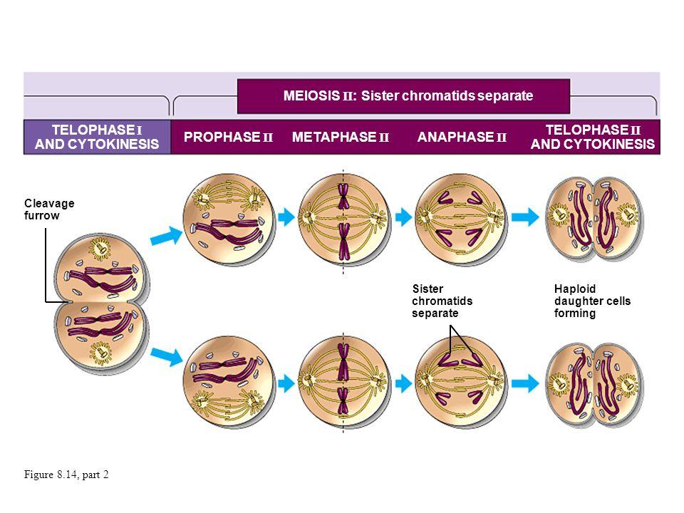 Figure 8.14, part 2 MEIOSIS II : Sister chromatids separate TELOPHASE I AND CYTOKINESIS PROPHASE II METAPHASE II ANAPHASE II Cleavage furrow Sister ch