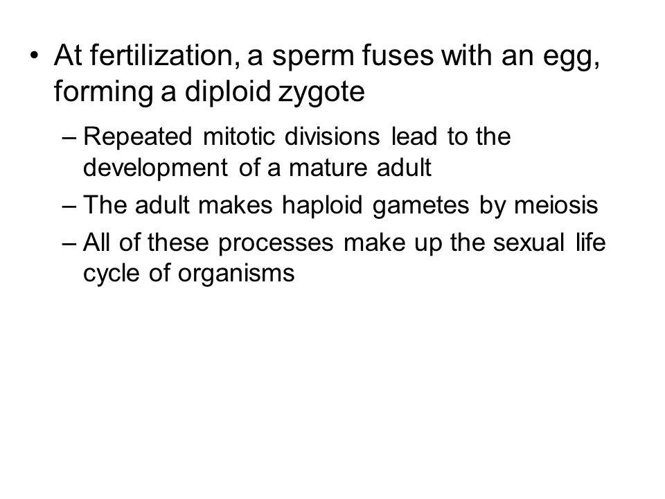 At fertilization, a sperm fuses with an egg, forming a diploid zygote –Repeated mitotic divisions lead to the development of a mature adult –The adult