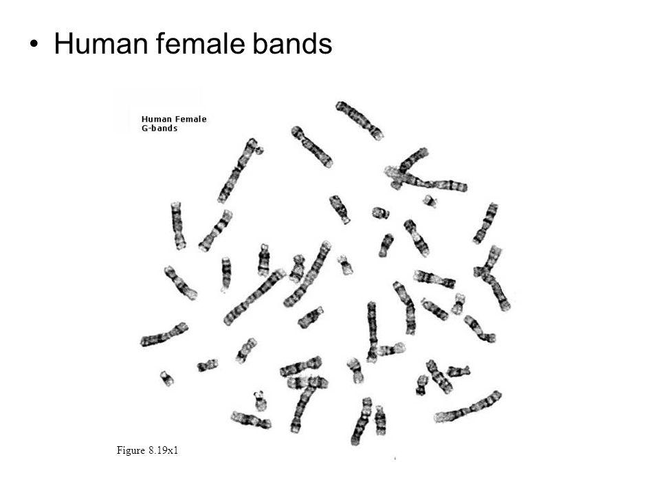 Human female bands Figure 8.19x1