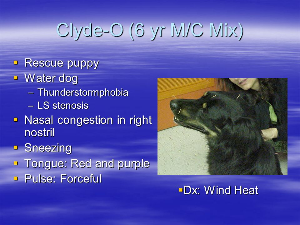 Clyde-O (6 yr M/C Mix) Rescue puppy Rescue puppy Water dog Water dog –Thunderstormphobia –LS stenosis Nasal congestion in right nostril Nasal congesti